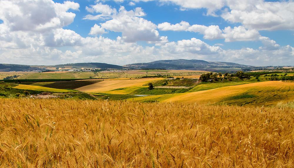 Wheat fields near Mt. Tabor village, northern  Israel.