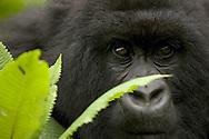 Mountain gorilla (Gorilla gorilla beringei)behind green leaves.