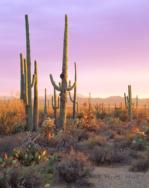 0115-1024C ~ Copyright: George H. H. Huey ~ Saguaro cactus with prickly pear and cholla cactus at sunset.  Saguaro National Park, Arizona.