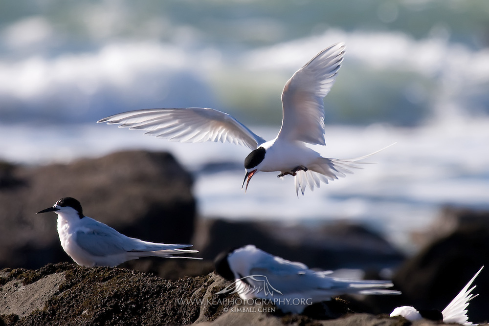 White-fronted Tern hovering in the air, at Curio Bay
