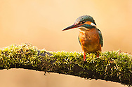 Kingfisher (Alcedo atthis) adult perched on mossy branch overhanging river, Norfolk Broads N.P., UK.