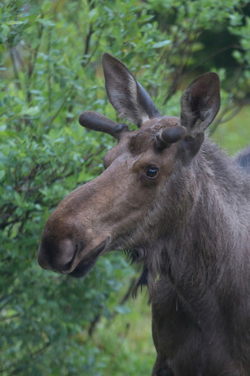 A tight profile shot of a young bull moose (Alces alces) in velvet.