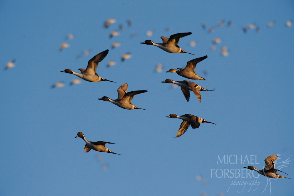 Northern pintails drakes escort a female during a courtship flight.  Hultine Waterfowl Production Area, Nebraska.
