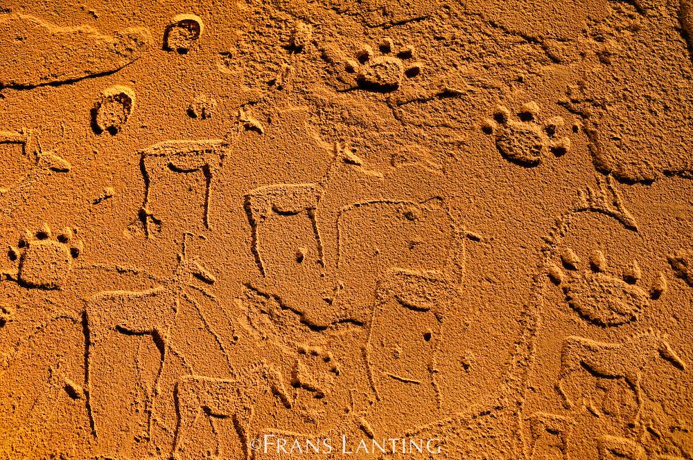 Rock art engravings, Twyfelfontein World Heritage Site, Uibasen Conservancy, Damaraland, Namibia