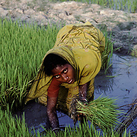 Woman working in a rice field, Sundarbans, West Bengal, India. The Sundarbans in the Ganges delta is home to nearly 3M people with little or no access to doctors or health facilities. The association SHIS with the help of French writer Dominique Lapierre and his wife Dominique send ferries turned into clinics to remote villages to cure, heal and soothe the poor mostly farmers and fishermen of this area where tuberculosis is still a problem. But it is not the only one... Kodachrome