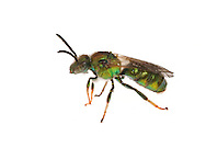Metallic Green Bee (Augochloropsis metallica), male, South Carolina