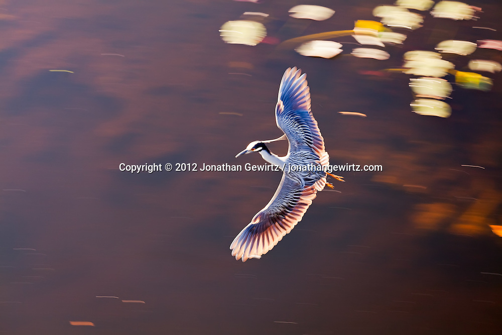 A Yellow-crowned Night Heron (Nyctanassa violacea) flying over a pond in the Shark Valley section of Everglades National Park, Florida. WATERMARKS WILL NOT APPEAR ON PRINTS OR LICENSED IMAGES.