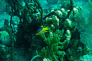 Cocoa Damselfish, Stegastes variabillis, Grand Cayman