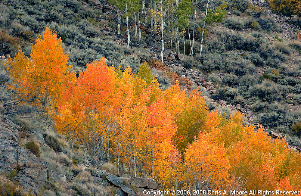 A grove of Aspen turn shades of yellow, orange, and red in Cache la Poudre Canyon, Colorado. September 2006