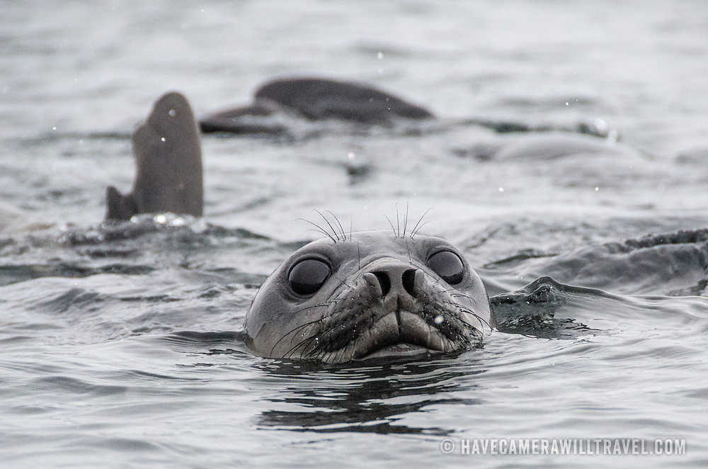 A curious Southern Elephant seal approaches in the water near Livingston Island in the South Shetland Islands, Antarctica.