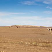Arabian Camel; Camelus dromedarius; Erg Chebbi Dunes; Mammals; Merzouga; Morocco