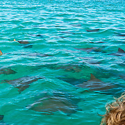 The golden cownose ray (or mustard ray, hawkray, pacific cownose ray; latin name Rhinoptera steindachneri, a species of fish in the Rhinopteridae family) swims at Gardner Bay, Española (Hood) Island, Galapagos Islands, Ecuador, South America. The golden cownose ray lives in the open seas, shallow seas, subtidal aquatic beds, estuarine waters, intertidal marshes, and coastal saline lagoons of Colombia, Costa Rica, Ecuador, El Salvador, Guatemala, Honduras, Mexico, Nicaragua, Panama, and Peru. In 1959, Ecuador declared 97% of the land area of the Galápagos Islands to be Galápagos National Park, which UNESCO registered as a World Heritage Site in 1978. Ecuador created the Galápagos Marine Reserve in 1998, which UNESCO appended in 2001.