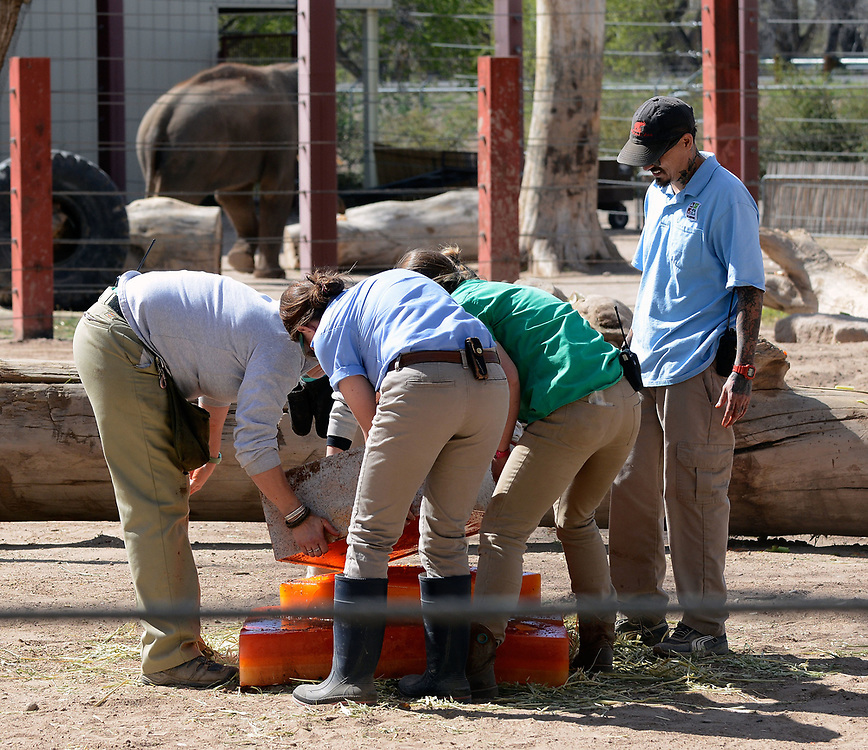 jt032517b/a sec/jim thompson/  Zoo staffers stacking the layers of the frozen cake (made of gatorade and fruit and veggies) in the elephant grounds for the birthday celebration for Irene's 50th birthday and the pregnancy announcement for Rozie. Friday March 24, 2017. (Jim Thompson/Albuquerque Journal)