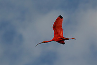 A close up of a Scarlet Ibis (Eudocimus ruber) flying ithrough the blue sky n Delta Amacuro, Venezuela.