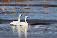 Pair of Tundra Swans (Cygnus columbianus) swimming in a marsh in the Susitna Flats State Game Refuge near Beluga in Southcentral Alaska during the spring migration. Morning.
