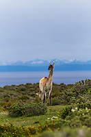 Guanaco in beautiful environment, Patagonia, Chile