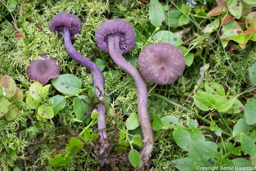 Ametystsopp, Laccaria amethystina, hatt hvelvet til utbredt, noe navlet, 2-6 cm. Fiolett og hatt, blekere i tørke. Vakkert fiolette skiver, fjernstilte og tilvokste eller svakt nedløpende. Fiolett stilk, 5-6 cm, med hvite, langsgående tråder. Mild lukt og smak. Spiselig. Vanlig på strø i løvskog med eik og bøk, her og der i barskog, funnet til Nordland. Commonly known as the amethyst deceiver, is a small brightly colored mushroom, that grows in deciduous as well as coniferous forests. The mushroom itself is eible, but can absorb arsenic from the soil. Because its bright amethyst coloration fades with age and weathering, it becomes difficult to identify, hence the common name 'Deceiver'.
