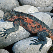A Galapagos Marine Iguana (Amblyrhynchus cristatus) basks on rocks in the Galápagos Islands, Ecuador, South America. Marine Iguanas, the world's only sea-going lizard species, are found nowhere else on earth. Marine Iguanas feed almost exclusively on marine algae, expelling the excess salt from nasal glands while basking in the sun, coating their faces with white. Marine Iguanas live on the rocky shore or sometimes on mangrove beaches or marshes. Most adults are black, some grey, and the young have a lighter colored dorsal stripe. The somber tones allow the species to rapidly absorb the warm rays of the sun to minimize the period of lethargy after emerging from the frigid water, which is cooled by the Humboldt Current. Breeding-season adult males on the southern islands are the most colorful and will acquire reddish and teal-green colors, while Santa Cruz males are brick red and black, and Fernandina males are brick red and dull greenish. The iguanas living on the islands of Fernandina and Isabela (named for the famous rulers of Spain) are the largest found anywhere in the Galápagos. The smallest iguanas are found on Genovesa Island. Fernandina Island was named in honor of King Ferdinand II of Aragon, who sponsored the voyage of Columbus.