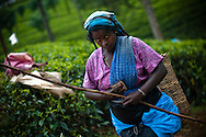 Tea pluckers harvest tea leaves at the Hollyroad Estates plantation near the town of Hatton in central Sri Lanka December 14, 2009.  Pluckers have a target of picking 16 kilograms of the leaves bu on average pick between 25-28 kilograms which will earn them about $5 per day.