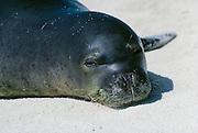 Hawaiian Monk Seal (Monachus schauinslandi) an Endangered Species, resting on the beach;  Tern Island, Hawaiian Islands National Wildlife Refuge..