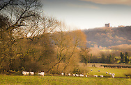 Overlooked by Peckforton Castle, sheep walk past the autumnal woodlands of the Cheshire Plain.