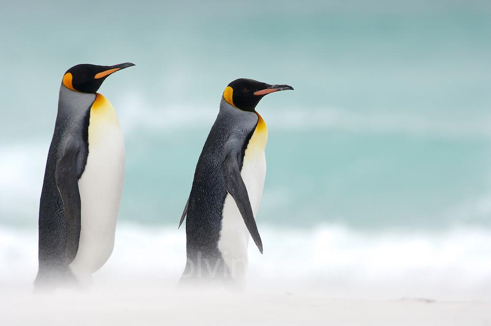 Beim Start zum Beutezug sowie bei ihrer Rückkehr vom Meer zur Brutkolonie sieht man, dass sich die Königspinguine (Aptenodytes patagonicus) in Gruppen zusammenfinden. Auf diese Weise werden sicherlich die Chancen erhöht, unbeschadet an ihren im Wasser lauernden Feinden wie Seelöwen und Schwertwalen vorbeizukommen.   Starting to and returning from their foraging trips the king penguins (Aptenodytes patagonicus) often gather in groups. This habit potentially lowers the risk of being caught by their aquatic predators, e.g. the sea lion and the orca.