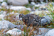 A Sooty Grouse (Dendragapus fuliginosus) foraging in the rocks at the Mount Baker-Snoqualmie National Forest in Washington State, USA