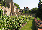 A view in Summer of the Lincoln vineyard, showing the ancient buttressed stone walls behind Edward King House and the Medieval Bishops' Palace. <br />