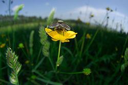 Bei dieser Fliege auf einer Hahnenfußblüte haben sich alle Wissenschaftler mit der Artbestimmung schwer getan, aber es ist eine Fliege.   Fly on a buttercup flower