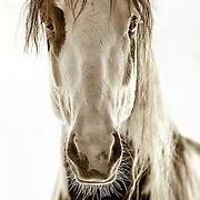 Wild Spanish Mustang, Wilbur Cruce Herd