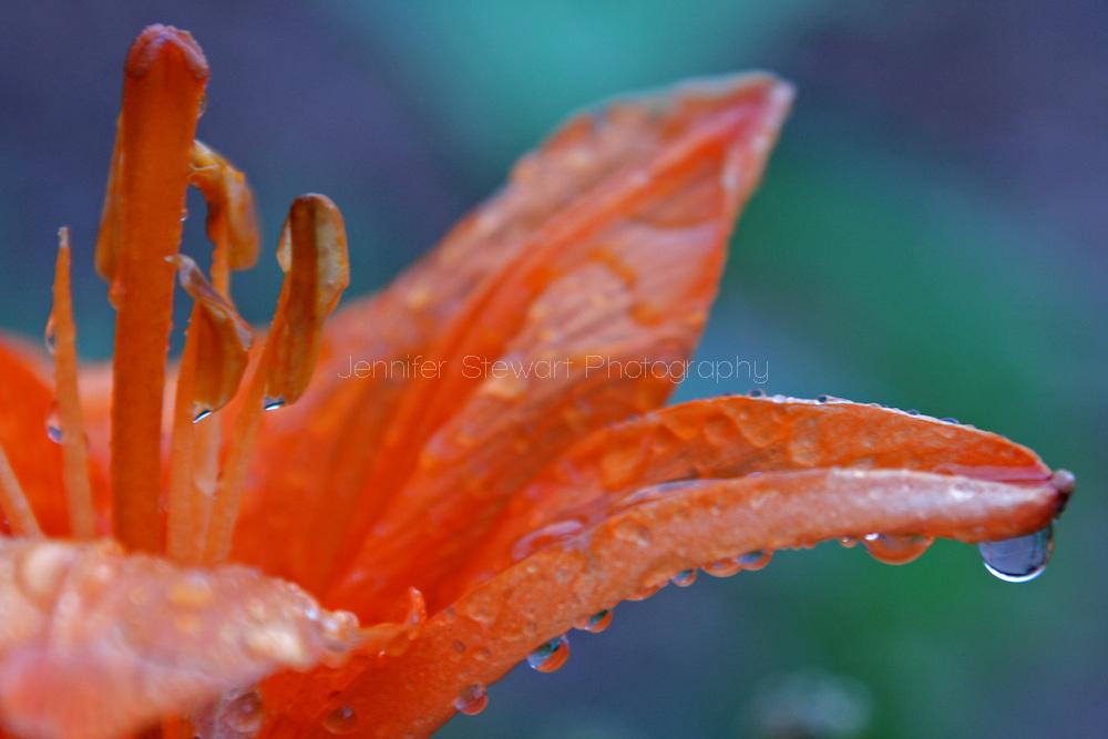 Greer, AZ, USA; Lilies in the ran. Mandatory Credit: Jennifer Stewart