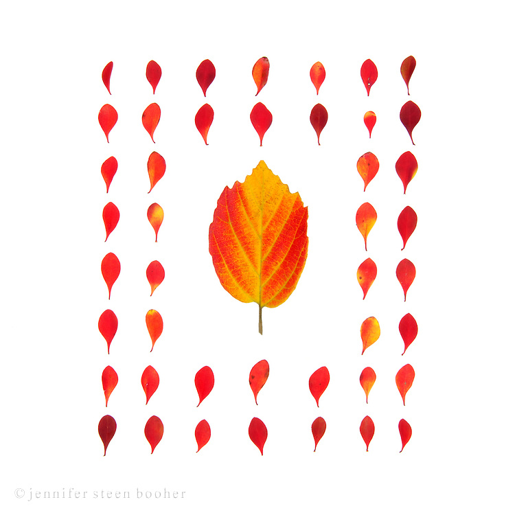 A pattern formed of vivid red barberry leaves on a white background (fall foliage, Bar Harbor, Maine)