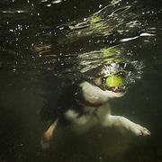 Tam the collie swimming underwater in a Scottish Loch