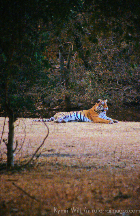 Asia, India, Ranthambore. Resting tiger.