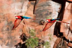 Arara-vermelha-grande da familia Psittacidae, conhecida tambem como arara-verde e arara-vermelha. / Large red macaw of the Psittacidae family, also known as green macaw and red macaw. Brasil, 2013