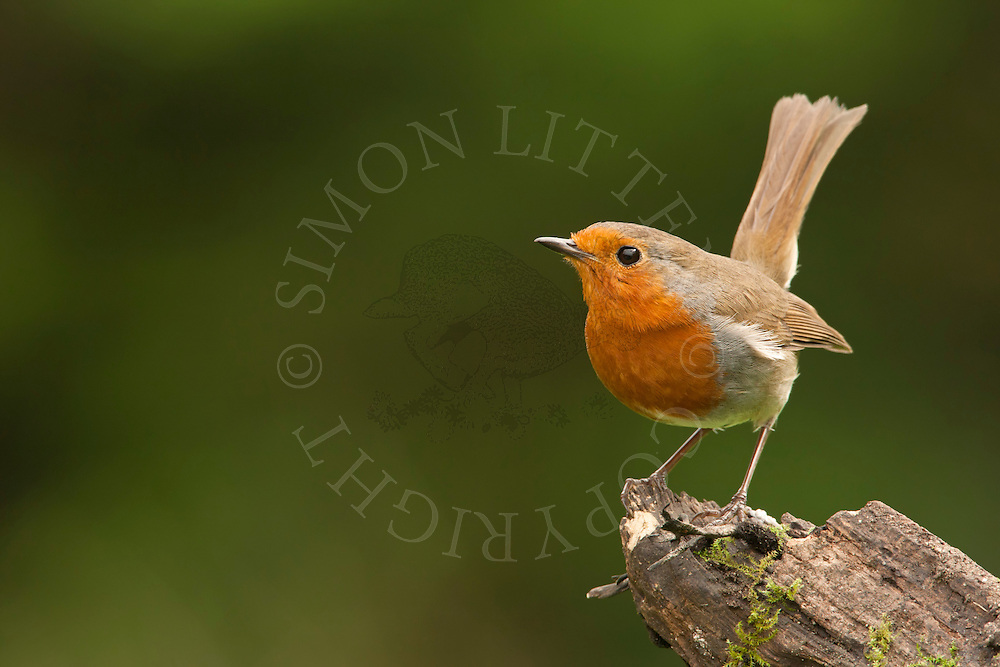 European Robin (Erithacus rubecula) adult, posturing on stump, spring, Norfolk, UK.