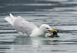 Circle of life - a Glaucous Gull (Larus hyperborus) killing a Thick-billed Murre (Uria lomvia) in Spitsbergen, Svalbard