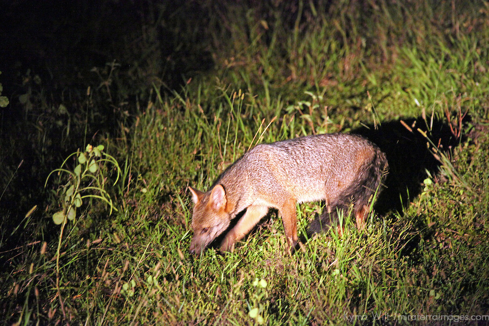 South America, Brazil, Pantanal. The crab-eating fox, a nocturnal mammal of the Pantanal.