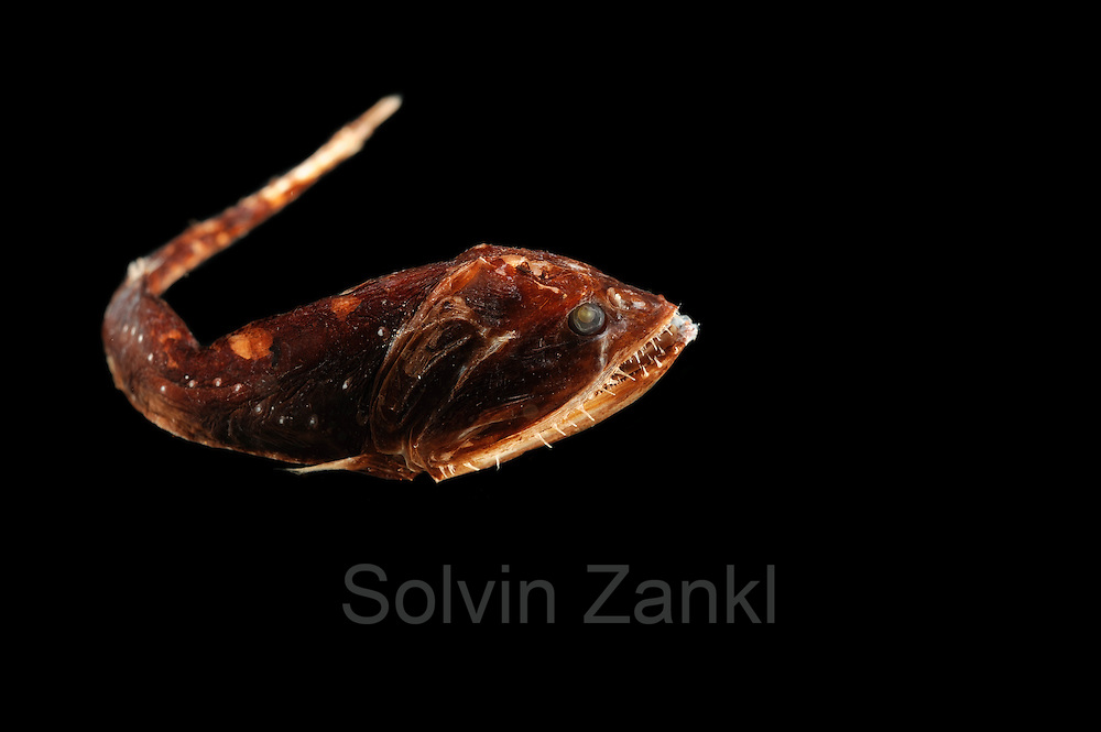 (Gonostoma bathyphilum) Borstenmaulfisch, 700-800m Tiefe