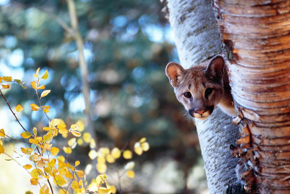 Mountain Lion, close-up