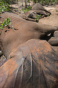 Tranquilized elephants<br /> &amp; capture team<br /> (Loxodonta africana)<br /> Elephants darted from helicopter to be relocated.<br /> Zimbabwe