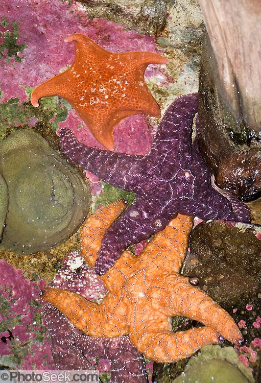 Starfish at the Oregon Coast Aquarium, Newport, Oregon