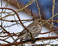 Crossed-bill/beak finch or female house finch (?) on a vine.  Backyard winter nature in New Jersey. Image taken with a Nikon D2xs camera and 80-400 mm VR lens (ISO 100, 400 mm, f/11, 1/500 sec).