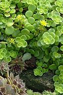 Green succulents in a garden
