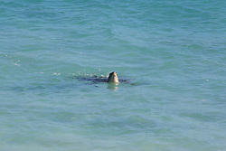 A Green turtle (Chelonia mydas) surfaces off the Lacepede Islands northwest of Broome, Western Australia.