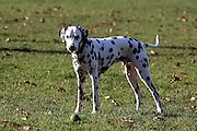 Max the Dalmatian