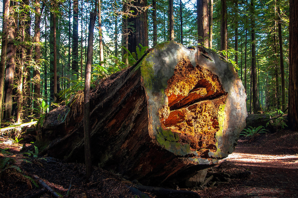 Sunset rays illuminate a giant fallen tree. Founders Grove, Avenue of the Giants, California.