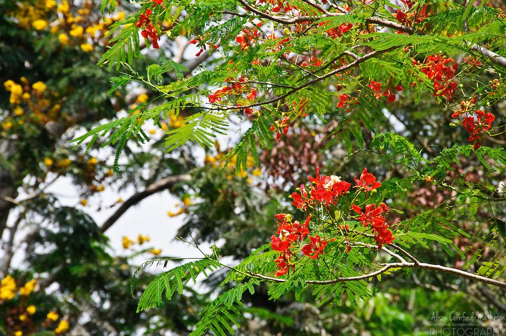 The red-orange flowers of the Delonix Regia, Gulmohar Tree, in Kerala, India