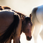 A herd of horses captured at the break of an Arizona dawn conveys natural equestrian serenity, trust, beauty, power, and grace.<br />