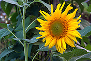 A Black Oil Sunflower (Helianthus annuus hybrid) growing in a vegetable garden in the Fraser Valley of British Columbia, Canada